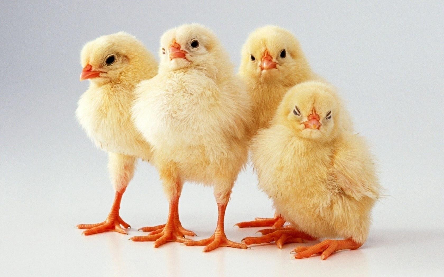 Сонник цыплята маленькие разноцветные