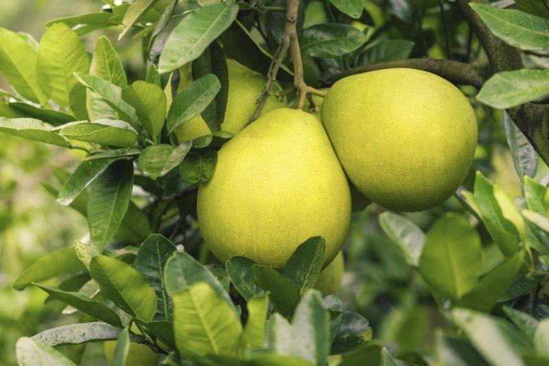 Памела: чем полезен фрукт для организма женщины, как растет и как правильно есть