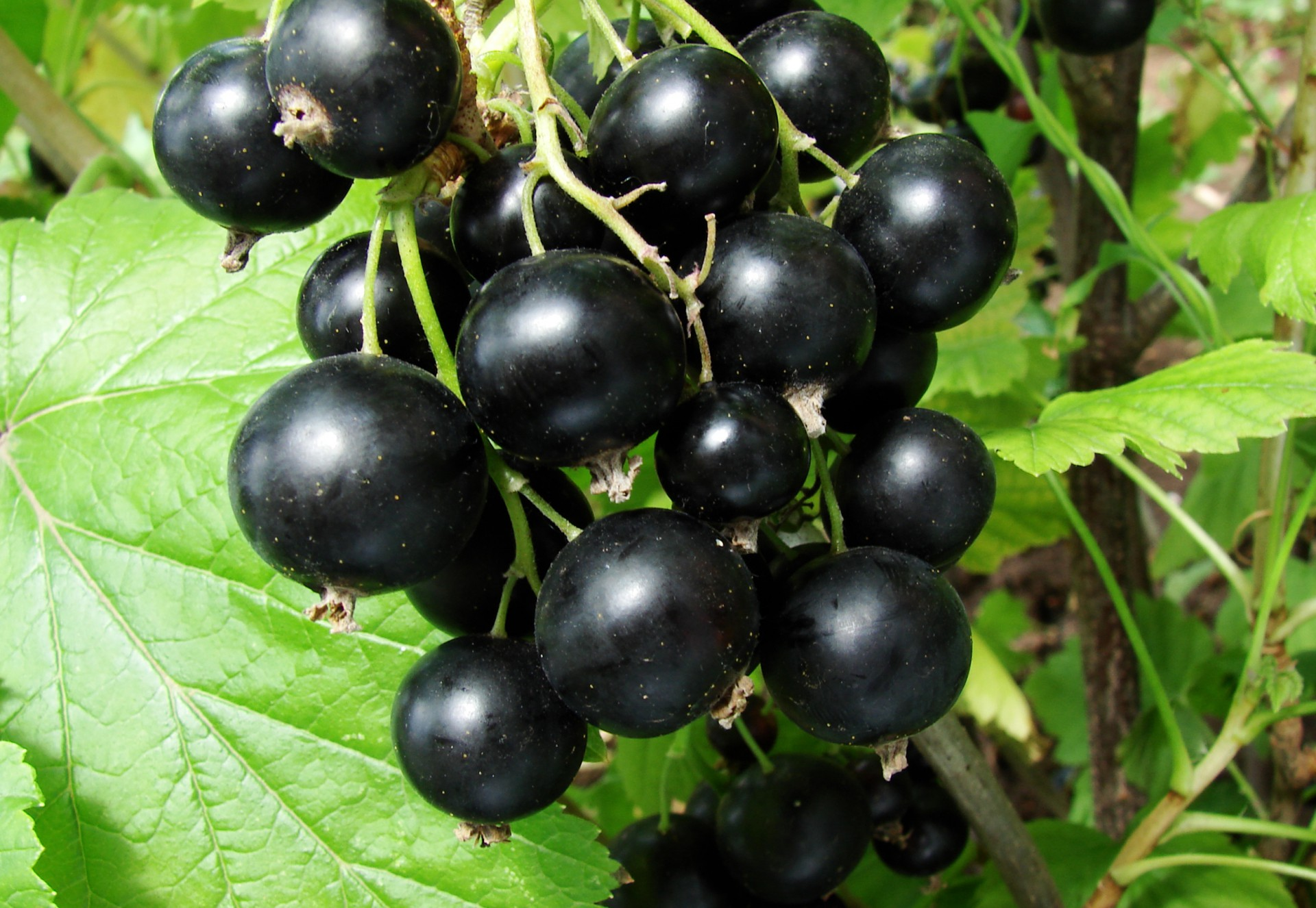 Черная смородина: болезни и лечение растения. Эффективные методы борьбы с болезнями черной смородины