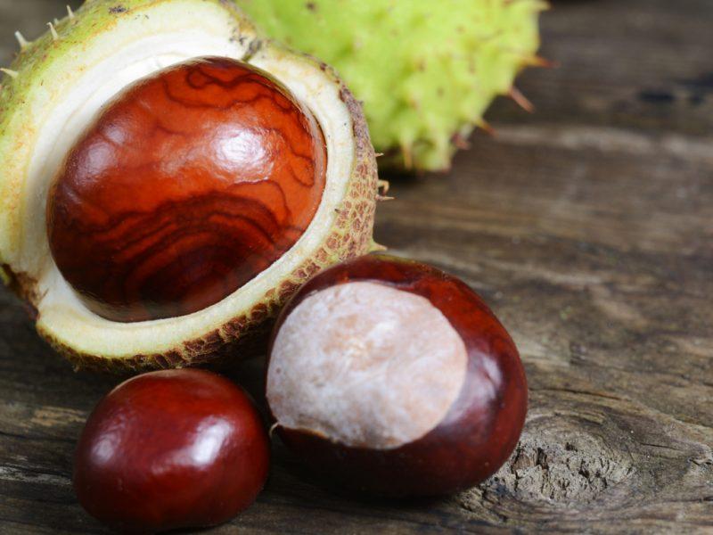 Конский каштан: лечебные полезные свойства и противопоказания