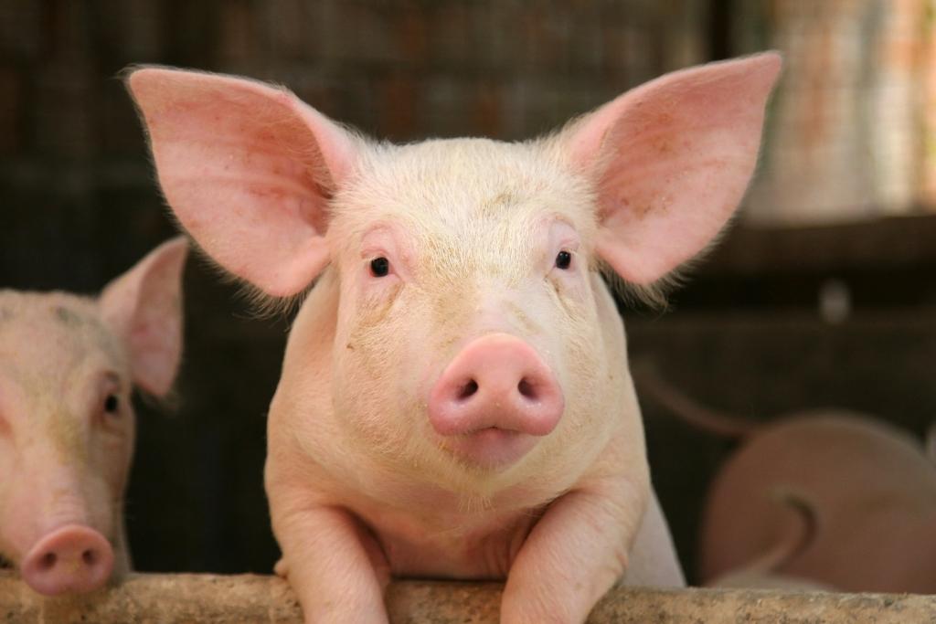 Сонник к чему снятся свиньи много