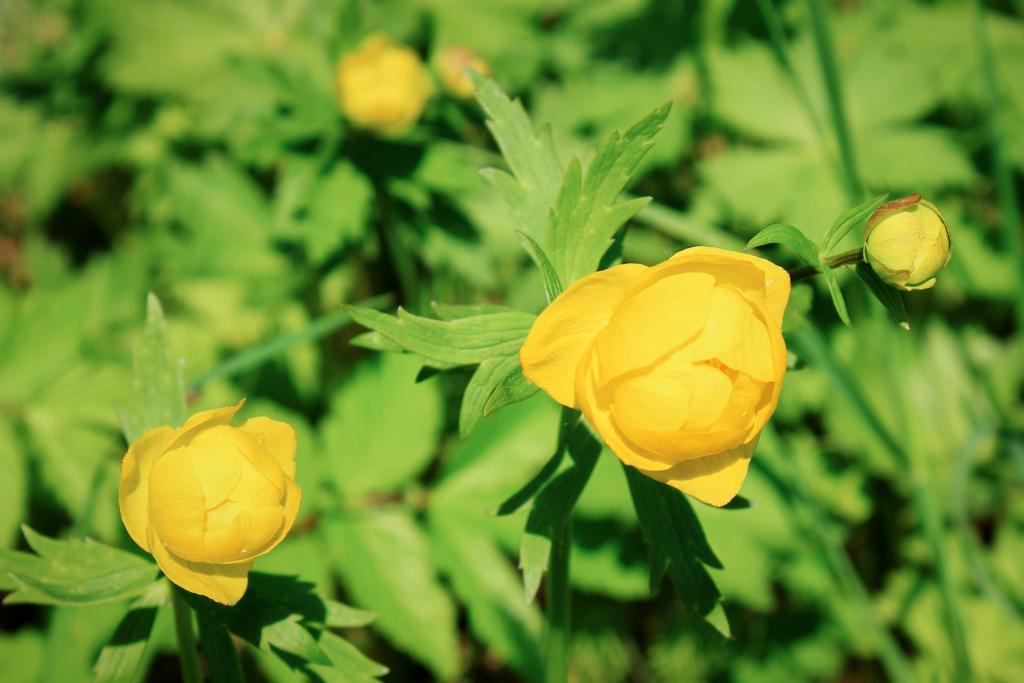 Купальница европейская: описание цветка с фото