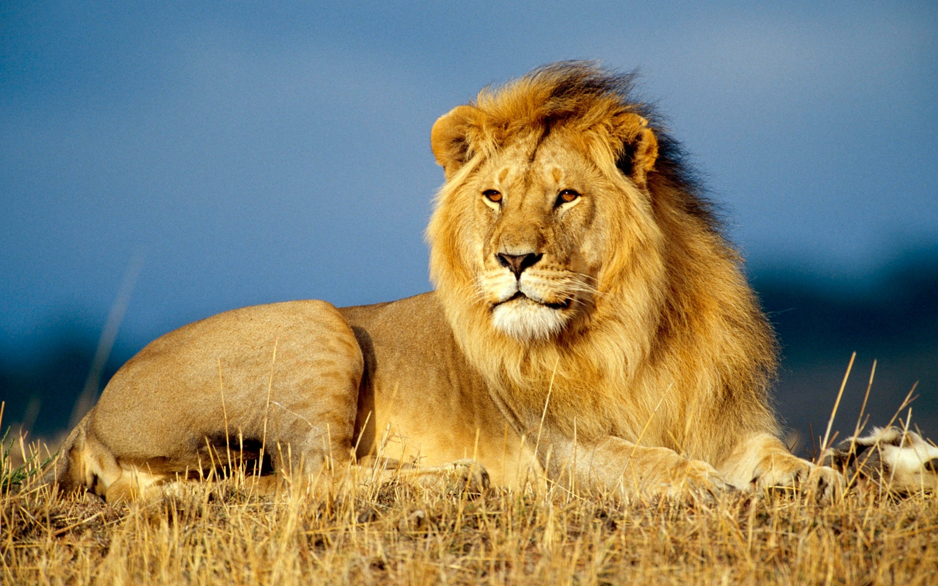 К чему снится лев женщине? Сонник про льва