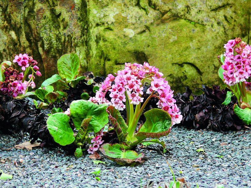 Чем полезен бадан, лечебный свойства растения