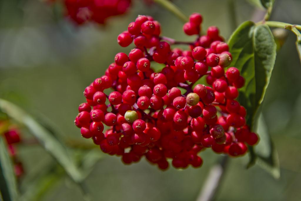 Бузина красная - лечебные свойства и противопоказания