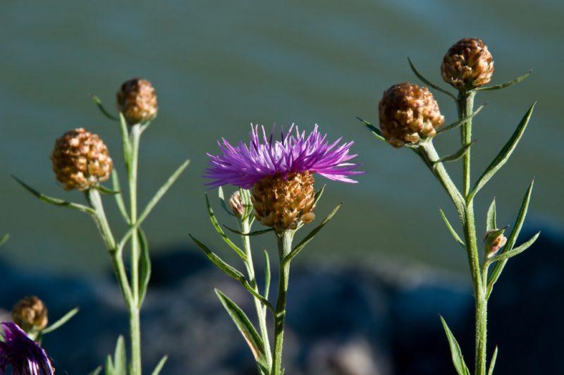 Василек луговой: описание, лечебные свойства растения