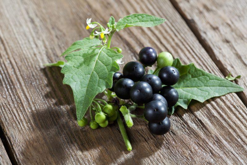 Паслен черный: описание растения, ядовитый или нет, польза и вред