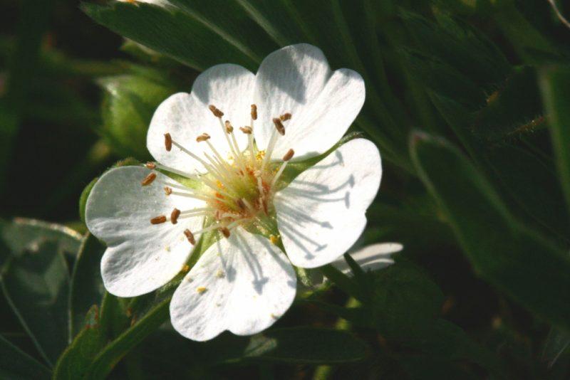 Лапчатка белая: полезные свойства и противопоказания, применение корня для лечения щитовидной железы
