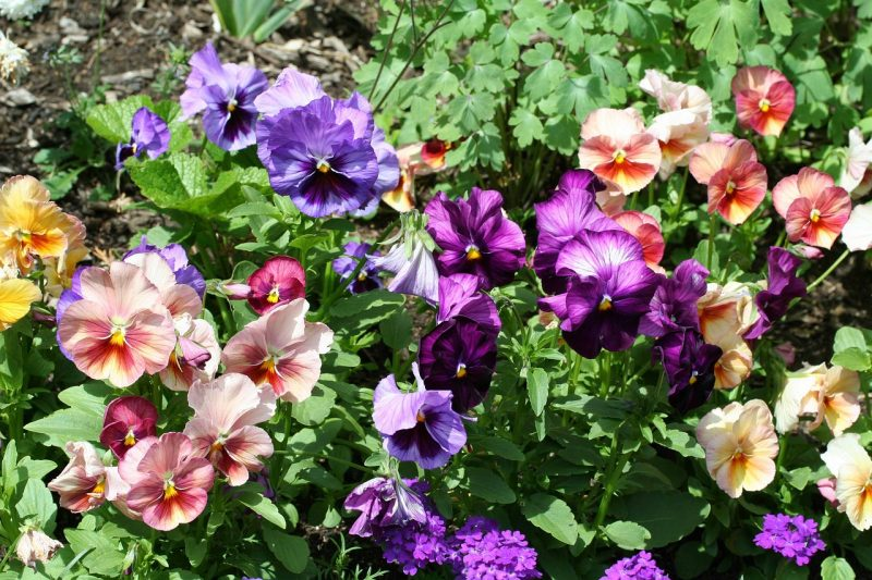 виола посадка семян на рассаду в домашних