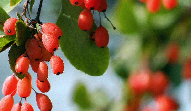 Барбарис: полезные и лечебные свойства, противопоказания