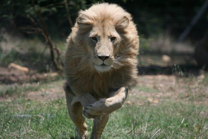 К чему снится львица женщине