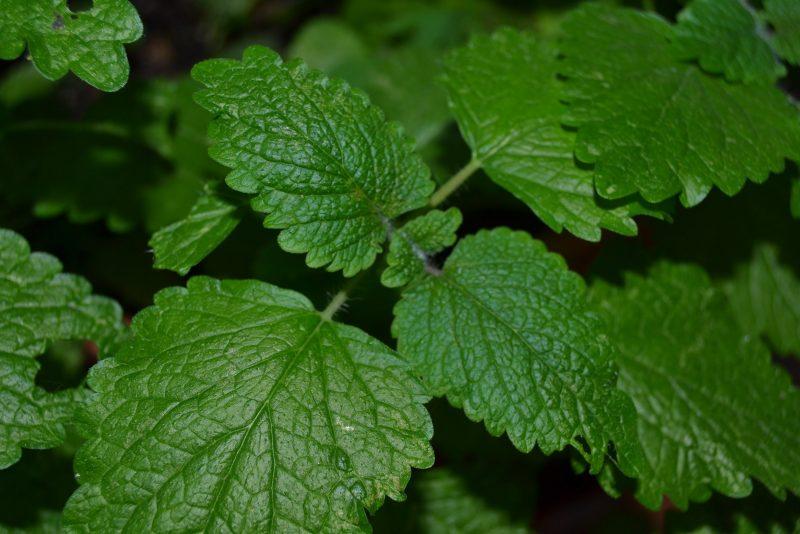 Мелисса: полезные лечебные свойства и противопоказания