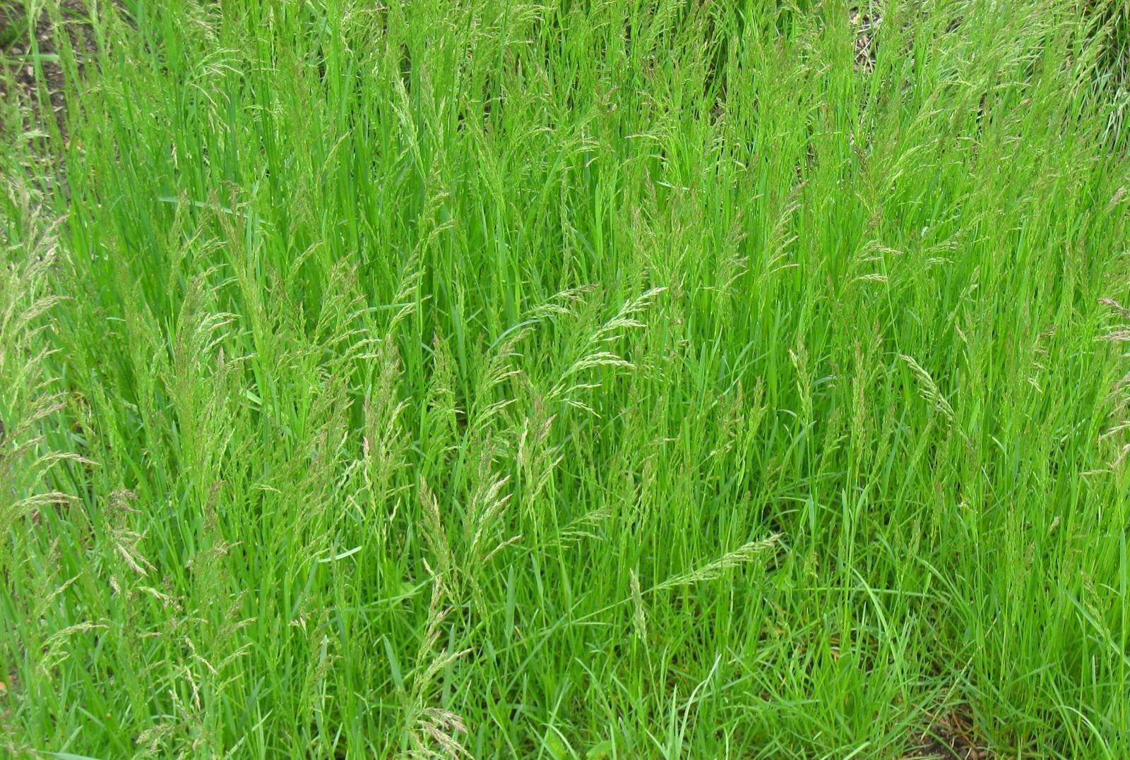 Мятлик луговой  описание растения и его особенности