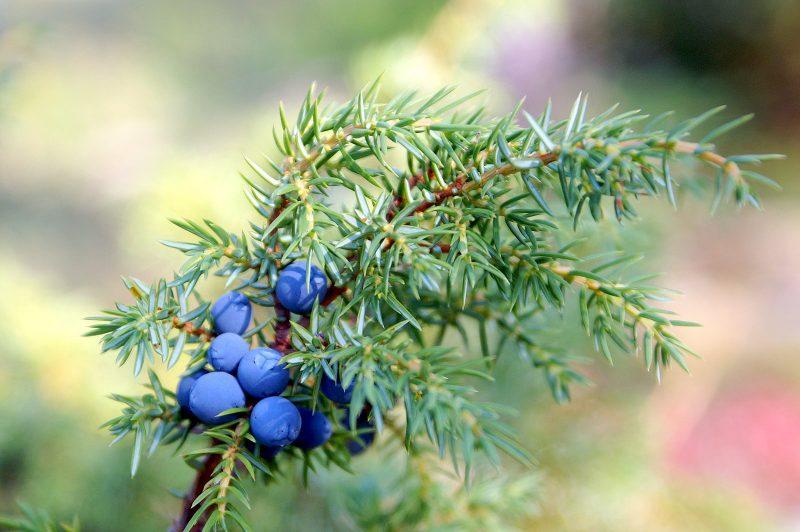 Можжевельник: лечебные свойства и противопоказания, применение
