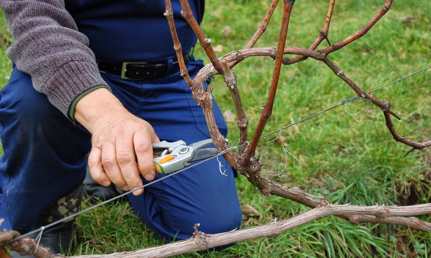 Обрезка винограда весной, как правильно обрезать лозу