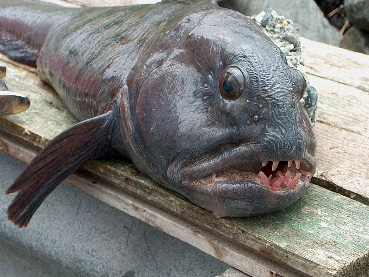 Рыба зубатка в картинках