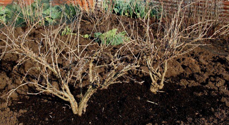 Как обрезать молодые кусты смородины осенью