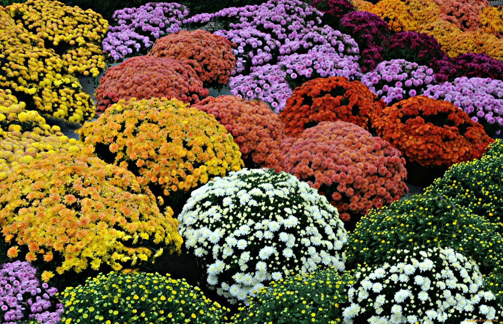 Выращивание удивительно красивых шаровидных хризантем