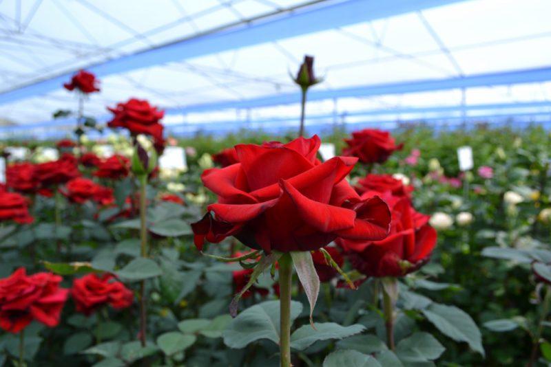 как растет роза фото сегодняшний день