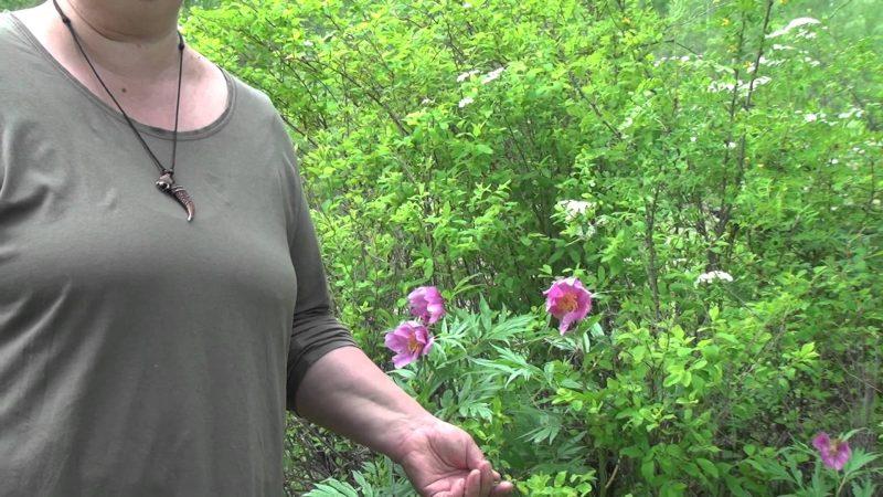 Настойка пиона - инструкция, применение, отзывы