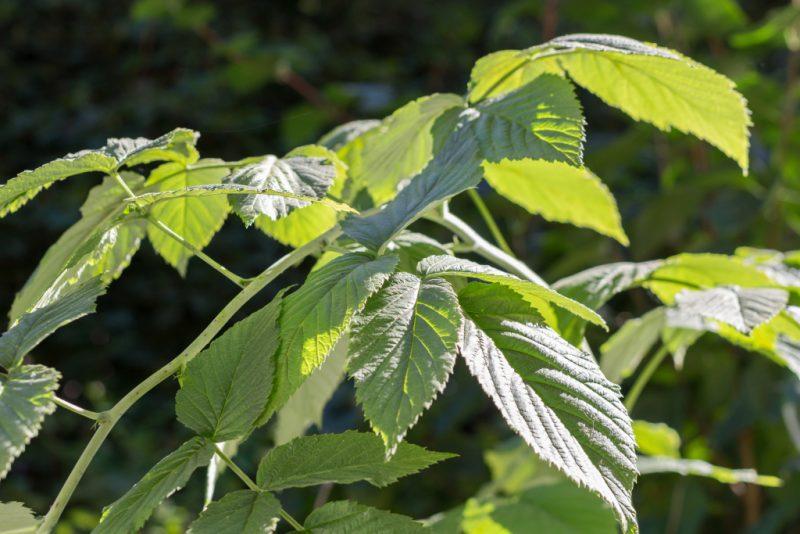 Отвар листьев малины в гинекологии