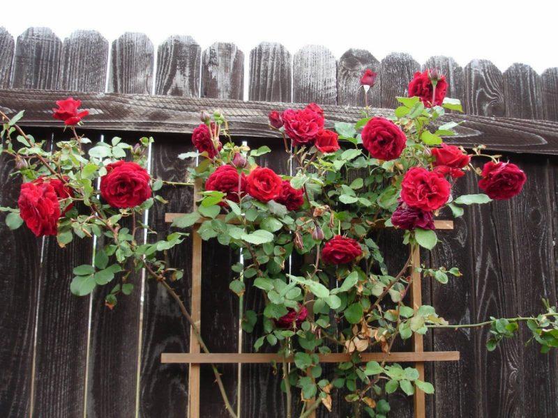 Укрытие на зиму вьющейся розы