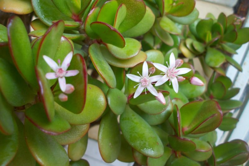 Толстянка денежное дерево лечебные свойства уход — Цветы365