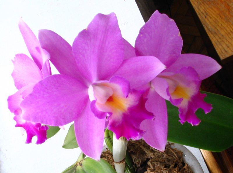 орхидея каттлея фото уход в домашних должне
