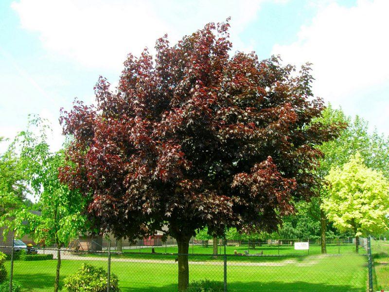 так декоративные лиственные деревья для сада фото с названиями наличии широкий выбор