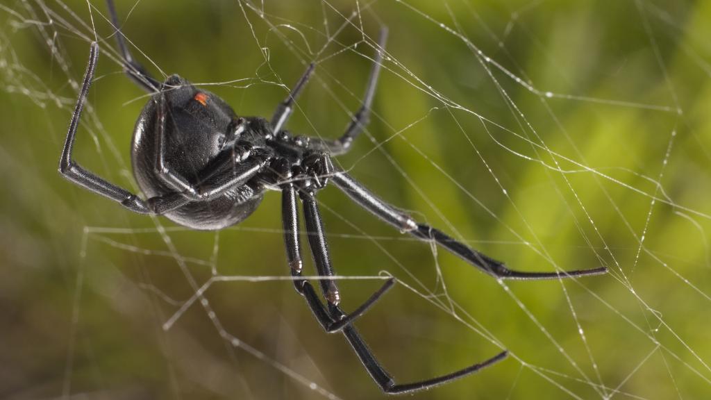 К чему пауки снятся черный большой паук снится сонник