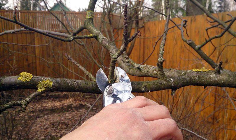 Обрезка абрикоса как угодить дереву
