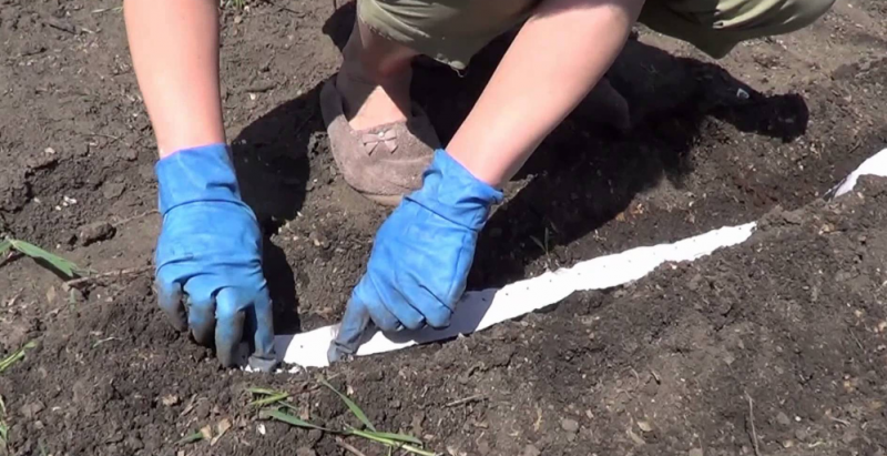 Сроки посадки моркови в открытый грунт семенами осенью