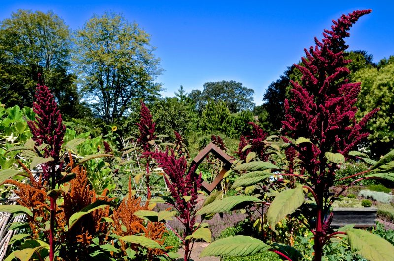 Амарант: полезные свойства и применение листьев и семян в народной медицине