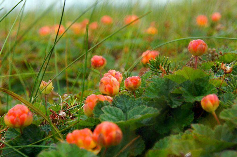 МОРОШКА ягода — 17 лечебных свойств и противопоказания