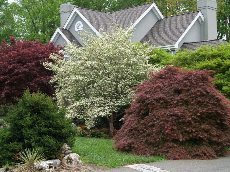 Низкорослые деревья для сада фото и названия