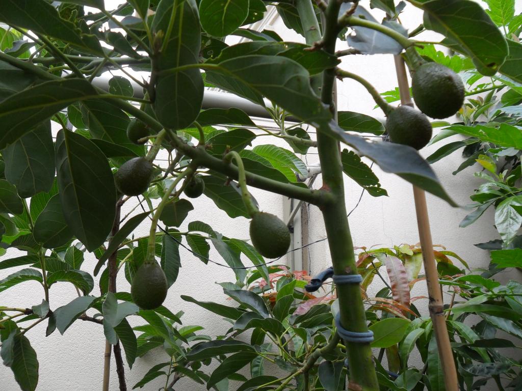 авокадо из косточки в картинках как цилиндр