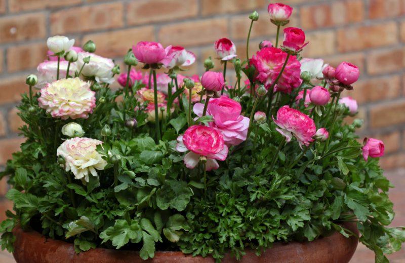 Садовый лютик и его выращивание