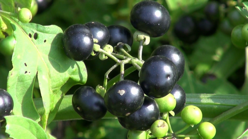 Пасленовые растения плодовые и декоративные