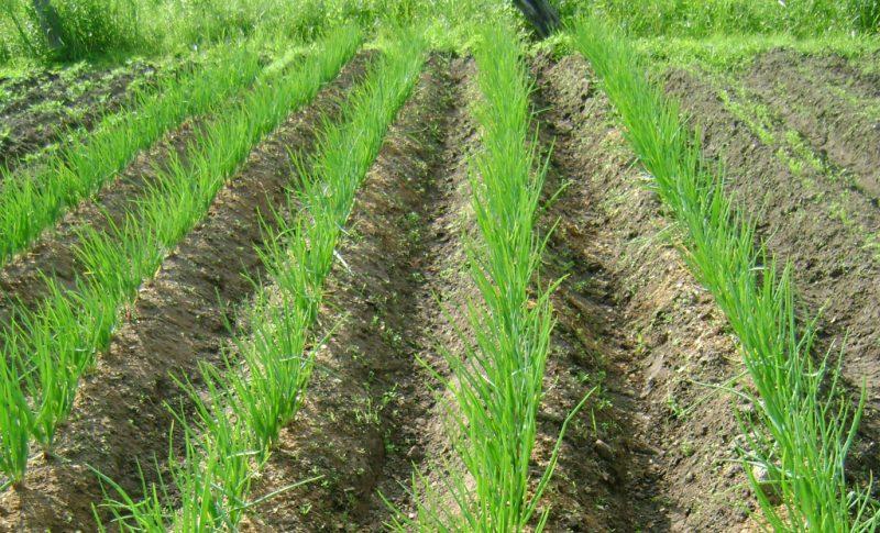 Правила и особенности посадки лука под зиму