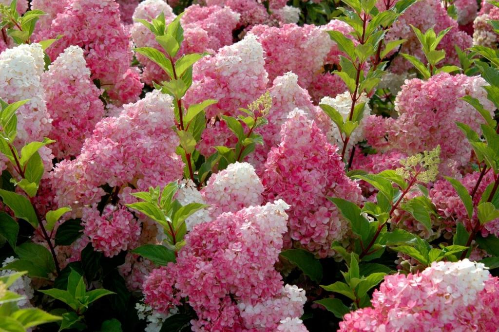 Купить Гортензия метельчатая Фрайз Мельба Hydrangea paniculata Fraise Melba
