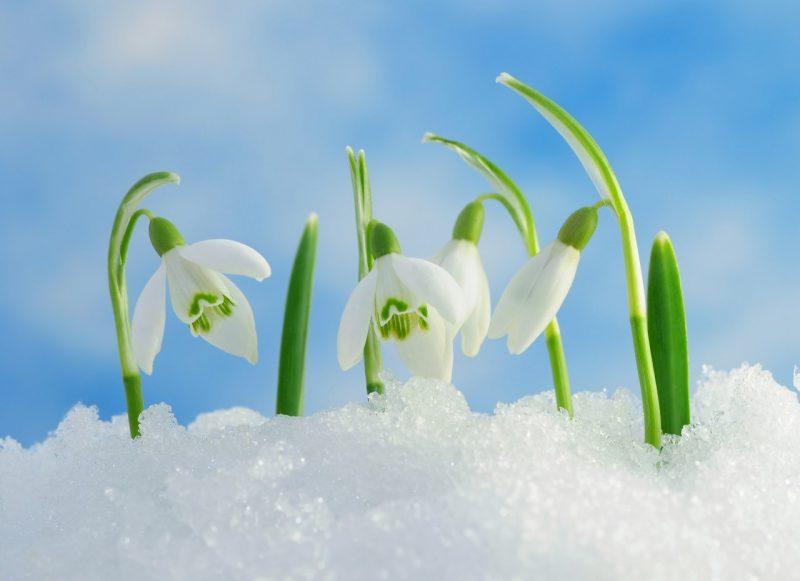 весна картинки март подснежники раздобыть