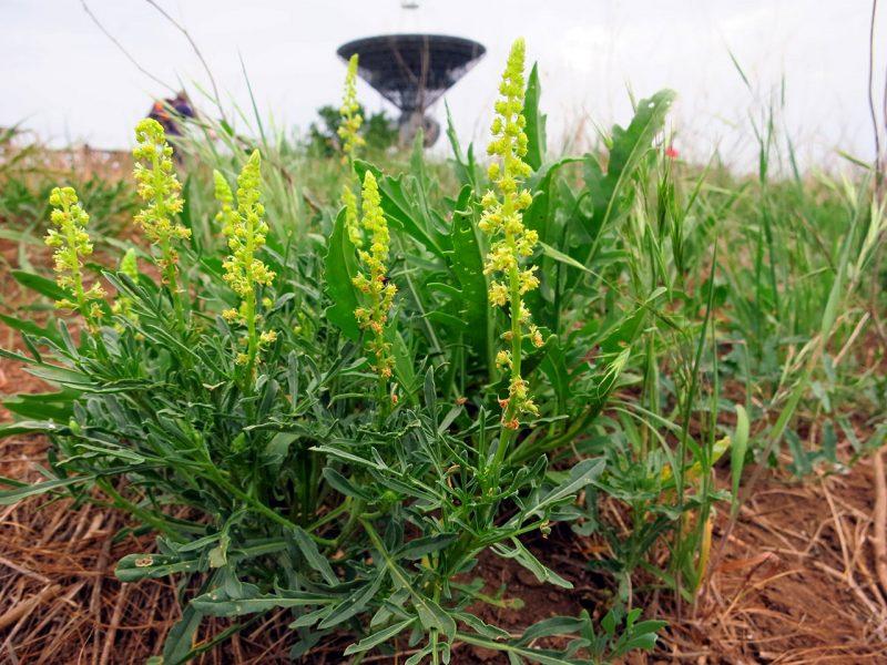 уже вспомню, желтая душистая трава фото нового года это