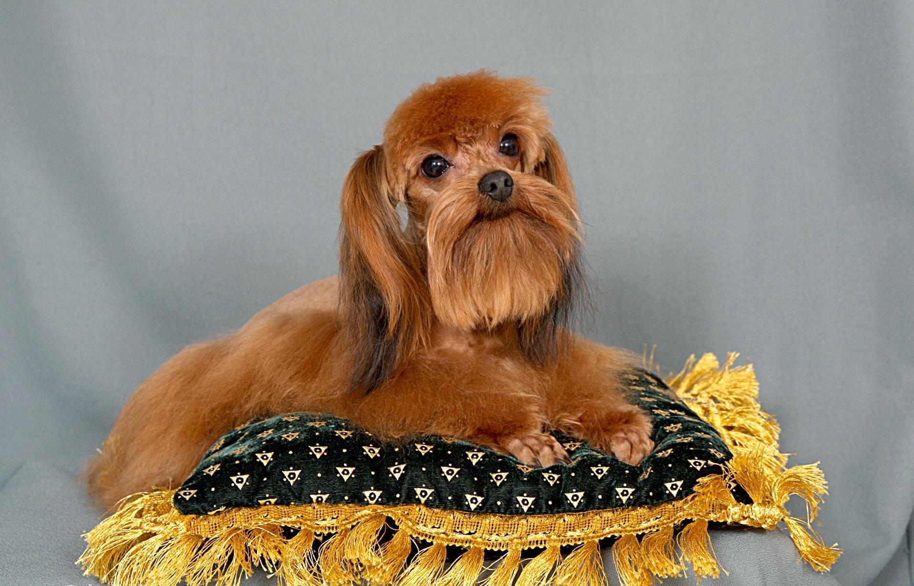 Невская орхидея порода собак