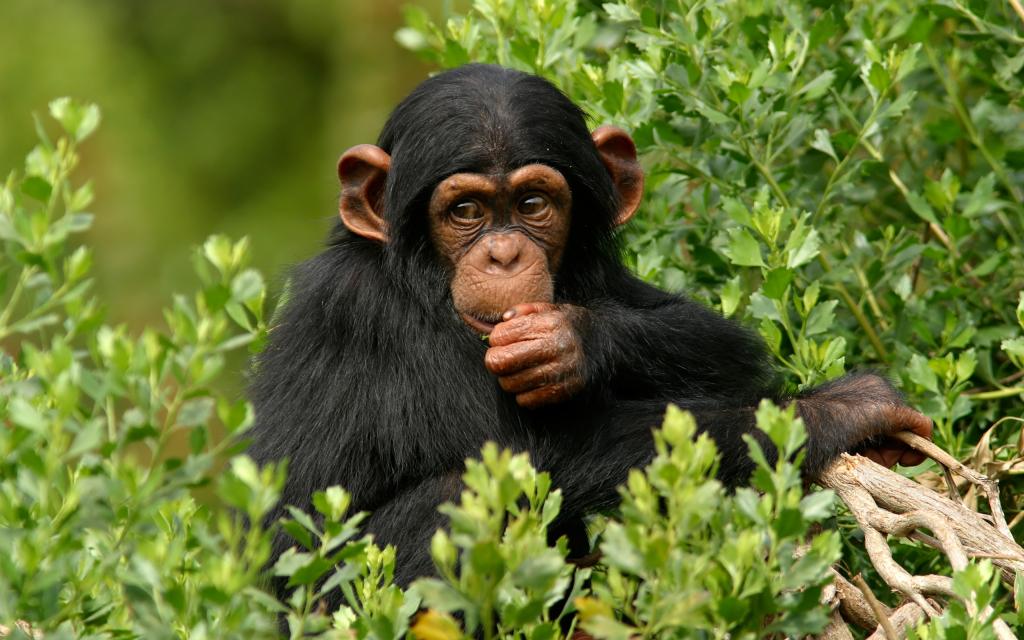 Сонник маленькая обезьяна к чему снится маленькая обезьяна во сне