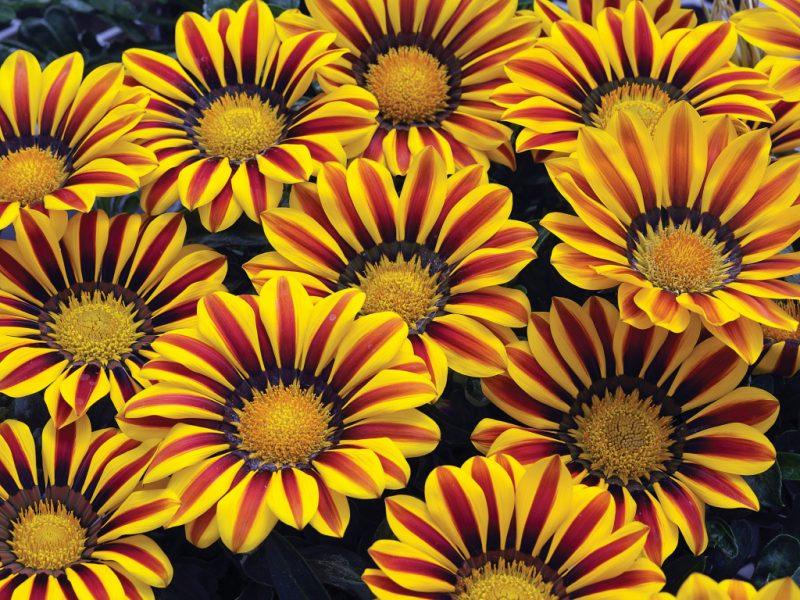 газания цветок картинки работать