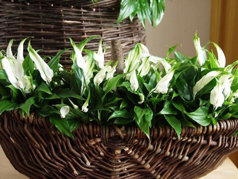Спатифиллум – «женское счастье»: описание растения, приметы и суеверия, как ухаживать за цветком в домашних условиях
