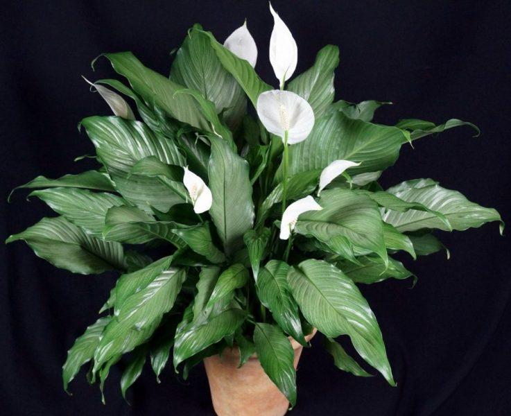 операция домашние цветы спатифиллум уход фото наращиванию ресниц