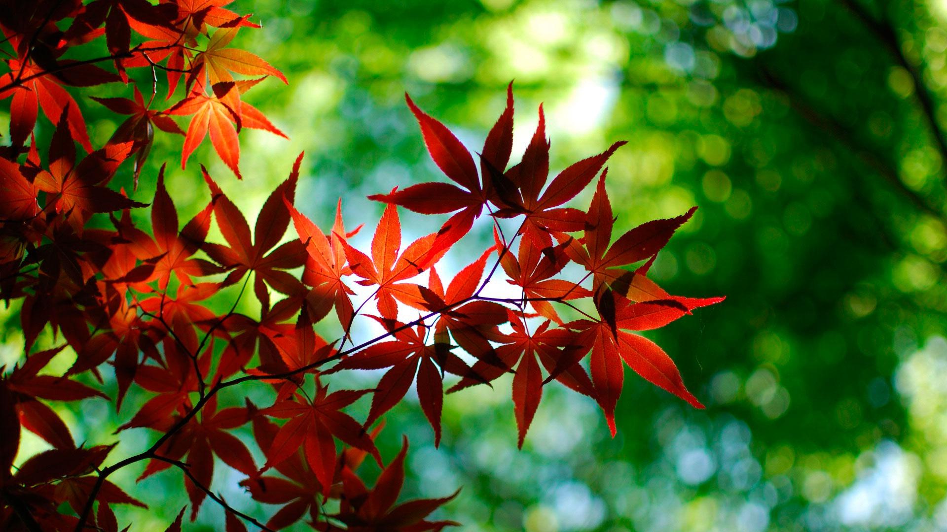 Клён — выращивание, размножение, посадка и уход