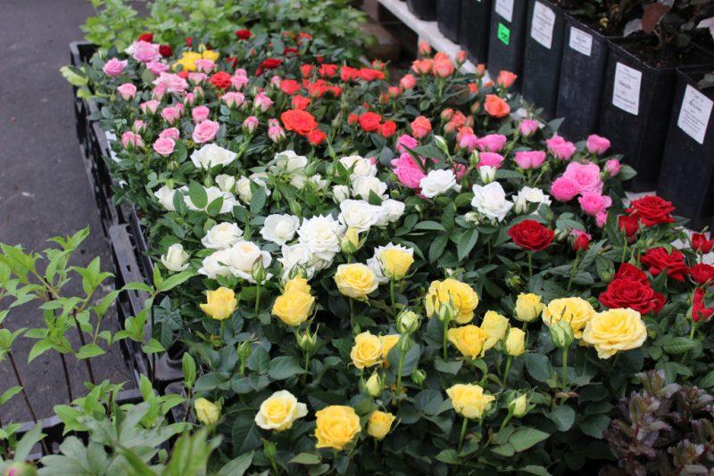 Бордюрные розы размножение черенками