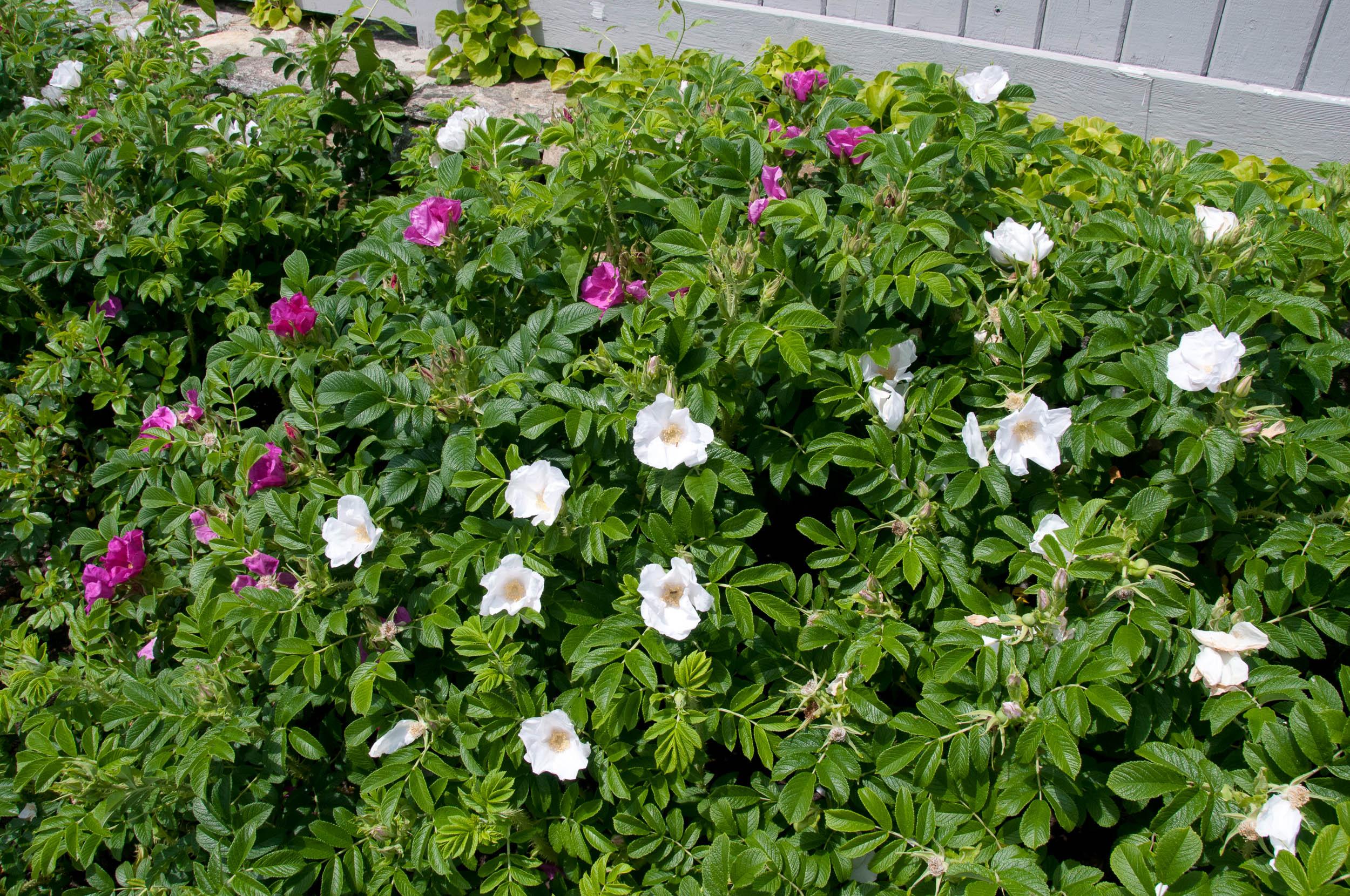 Как вырастить розы ругоза: лучшие советы